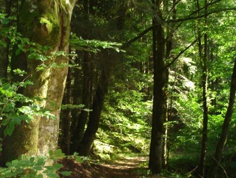 Chemin forestier bordé de chênes et fougères